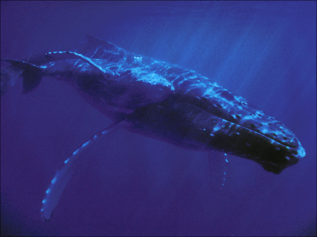 bluewhale2
